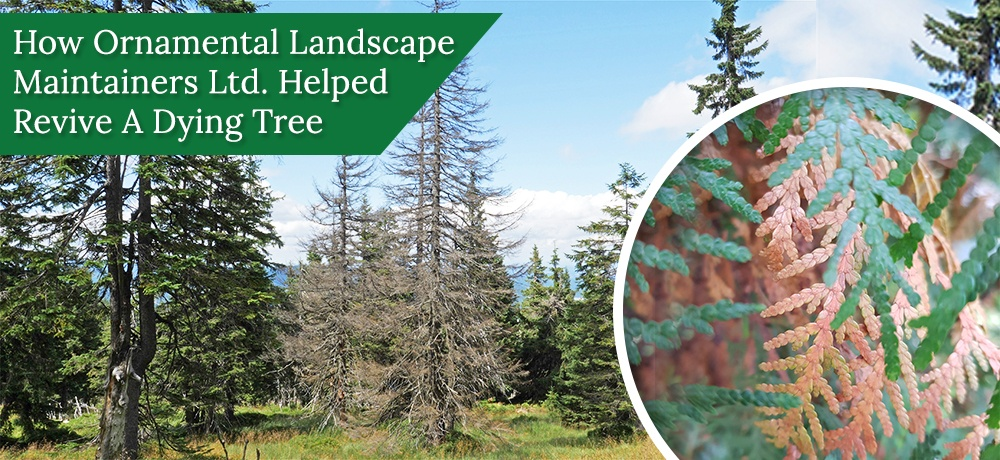 How-Ornamental-Landscape-Maintainers-Ltd-Helped-Revive-A-Dying-Tree.jpg