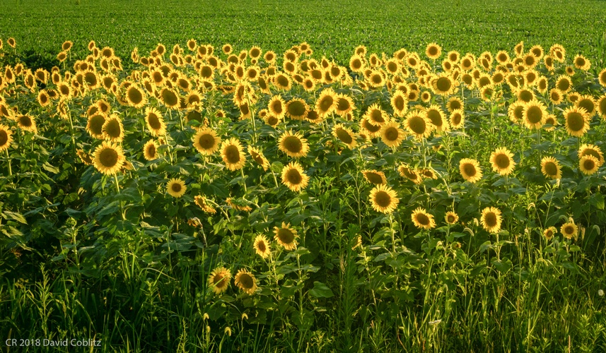 Sunflower Field - Stress Relieving Art Photography Ballwin by Coblitz Photographic Arts