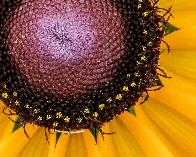 Closeup of Sunflower - Stress Relieving Art Photography Saint Charles by Coblitz Photographic Arts