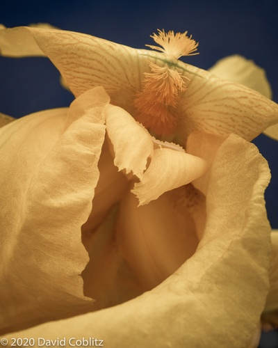 Beautiful Iris Flower - Stress Relieving Art Photography St. Louis County by Coblitz Photographic Arts