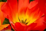 Beautiful Tulip Flower - Stress Relieving Art Photography Olivette by Coblitz Photographic Arts