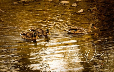 Ducks Swimming - Photography Services Orillia by LogicWorx Studios Inc.