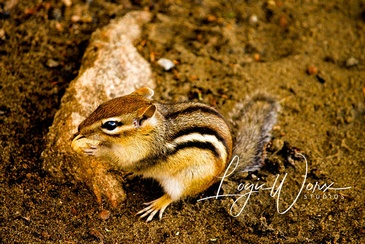 Squirrel - Photography Services Orillia by LogicWorx Studios Inc.