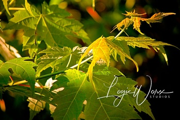 Maple Leaves - Photography Shelburne by LogicWorx Studios Inc.