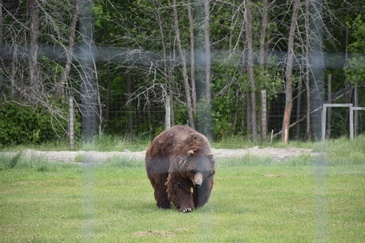 Brown Bear Captured by Wildlife Photographer Ontario at Excellent Photography