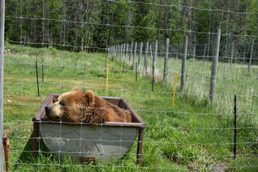 Brown Bear resting in a Trolley Captured by Ottawa Wildlife Photographer - Excellent Photography