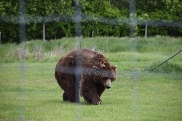 Brown Bear on a Grass Field captured by Wildlife Photographer Ottawa at Excellent Photography