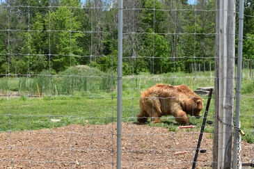 Bear Captured At a Zoo - Wildlife Photography by Excellent Photography