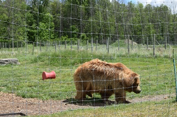 Fluffy Brown Bear Captured At a Zoo by  Excellent Photography - Wildlife Photographer Ottawa