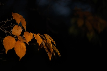 Tree Branch with yellow leaves Captured by Phillip Angelo - Fine Art Photography New Jersey
